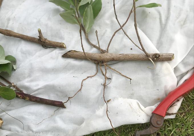 ハマゴウ(4月)増やし方_栽培/挿し木・発根_やり方(海浜の植物)