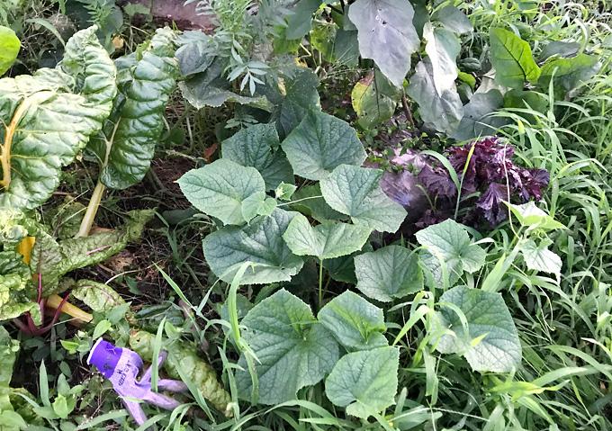きゅうりとナスの混植(収穫)【家庭菜園/有機栽培】