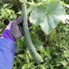 【栽培/きゅうり】「ときわ地這え」「四葉」在来品種を家庭菜園で育ててみました!