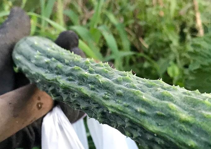 在来品種・四葉(スーヨー)きゅうりとの収穫【家庭菜園/自然栽培】