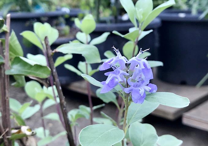 【ハマゴウ】園芸_品種(浜辺の植物)薄紫色/栽培方法・挿し木