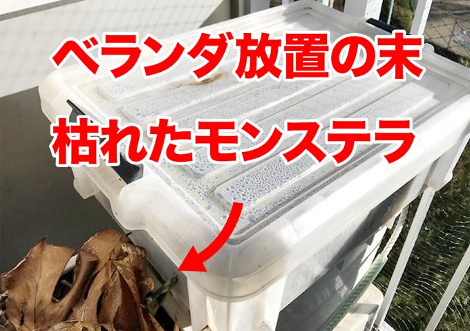 【モンステラ/再生方法】冬の寒さで枯れた茎から発根・発芽!