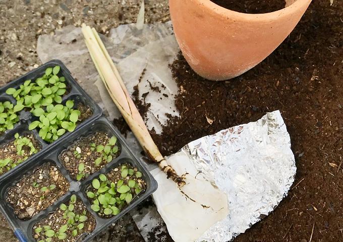 【自然栽培/レモングラス】簡単丈夫に育つ薬草/家庭菜園(植え付け時期)