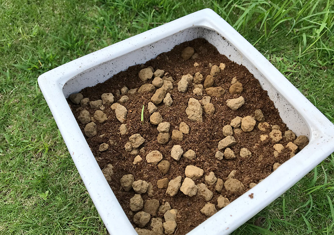 【モンステラ/植え替え】発根した茎から移植。植える向き