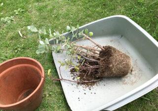 【挿し木/ハマゴウ】発根を確認!ハマゴウの植替えです。