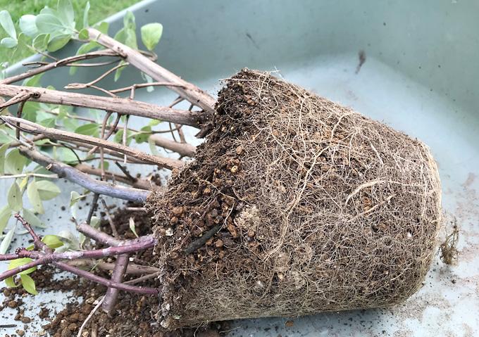 【鉢植え/培養土】挿し木の移植(ハマゴウ・沈丁花・キンモクセイ)