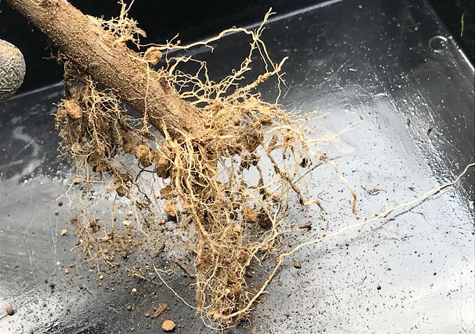 【鉢植え/植替え(根っこの処理)】挿し木の移植(ハマゴウ・沈丁花・キンモクセイ)