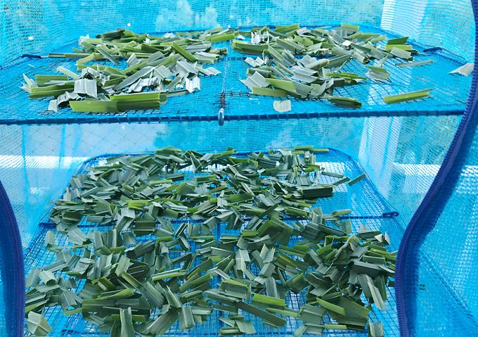 【保存方法/レモングラス】乾燥させてハーブティー/家庭菜園野菜の活用(夏)