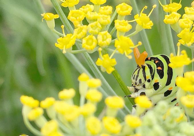 フェンネルにアゲハチョウの幼虫が大量発生(育て方_害虫)