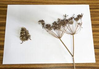 【種採り/フェンネル】茎葉全てが使える万能ハーブ。今回は種(シード)の収穫です。