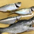 波崎新港でヒラメ釣りアジとメバルも
