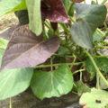 安納芋の芽出し/蔓を自分で伸して植付け